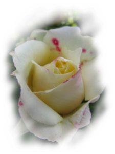 KGS-Heilpraxis C. Haaß - weiße Rose
